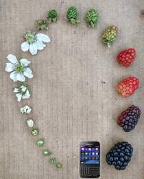 Life cycle of a blackberry