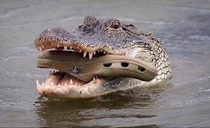 Look how instinctively the mother croc carries the baby in its mouth Nature is beautiful