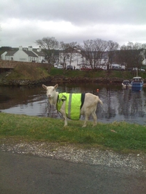 Meanwhile in Northern Irish countryside  A goat in a high visibility vest