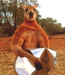 Meet Roger the Dude Bro Kangaroo