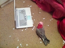 Misunderstood bird helps his owner clean his keyboard
