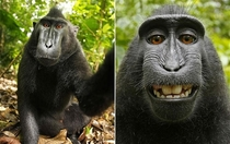 Monkey steals camera from photographer to snap himself a selfie Gets uploaded to Wikipedia Photographer sues Wikipedia to remove it Wikipedia refuses to delete photo as monkey owns it