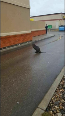Most Canadian situation ever Beaver blocking a Tim hortons drivethrough in the pissing rain in Vancouver  Original link in comments