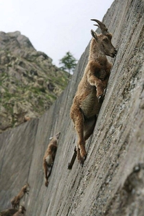 Mountain goats demonstrating their extraordinary aptitude for climbing as they lick salt from this wall of limestone