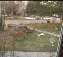 Mountain lions moving back into boulder during lockdown
