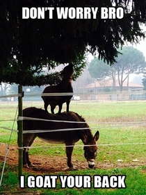 My auntie sent me this photo of a goat standing on a donkey in Italy I couldnt resist