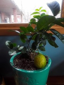 My baby lime tree grew an oversized lime