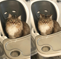My cats face before and after my wife told her that the high chair is not for her