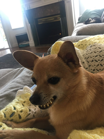 My dog likes to fetch hair ties and hold them in his mouth making him look like hes wearing grills