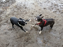 My dog met another boston terrier today
