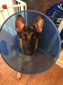 My dogs reaction when I put the cone of shame on him