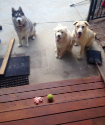 My dogs tried to trade me a hibiscus flower and a tennis ball for the snack I was eating