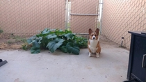 My friends corgi ate pumpkin seeds pooped them out and they started growing Here she is sitting next to her work