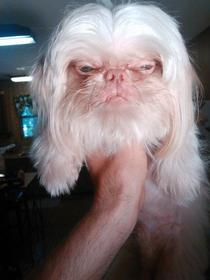 My friends dog Looks like a weird hairy old man