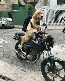 My friends dog on a motorcycle