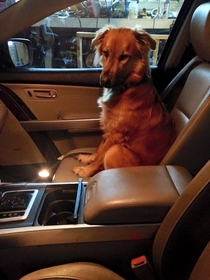 My friends dog runs into the car every time they open the door This is his face while refusing to leave the car
