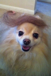 My girlfriend cleaned her hairbrush making a great pomeranian toupe