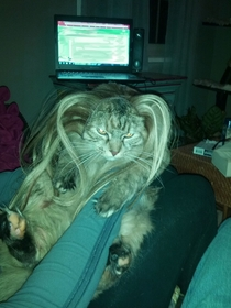 My girlfriend put her hair extensions on her cat It was less than thrilled