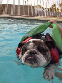 My girlfriends bulldog is terrified to swim even with a life jacket and floatie