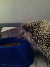 My hedgehog looks vicious when she eats