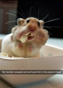 My little hamster escaped and i found him in the popcorn bowl
