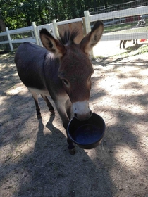 my miniature donkey when he wants food