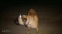 My mom has a -pound mastiff who is scared of the dark She sent me this last night -- problem solved