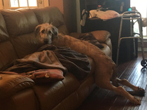 My moms dog an Irish wolfhound puppy thinks she cant climb onto the couch and needs help to get up