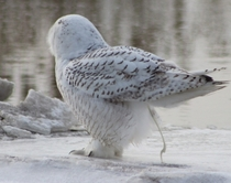 My mother was photographing a beautiful Snowy Owl then it took a shit