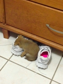 My sisters puppy was so tired she just fell asleep in her shoe
