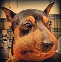 My wifes a vet tech and showed me this pic of Min Pin that came in with a severe allergic reaction