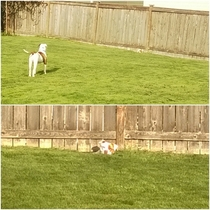 Neighbors dog just pops her head under the fence when I let my pup out Never barks Just observes