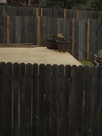 Neighbors dog likes spending his time sitting inside a barrel