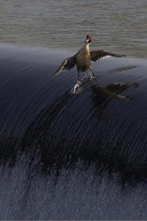 No matter how hard you try you will never be as cool as this duck