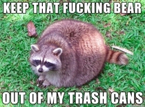Obese raccoon doesnt like competition