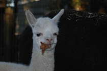 One of my aunts alpacas often carries around a leaf