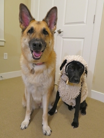our shepherd found the perfect costume for her little sister this year
