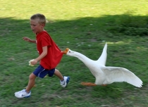 Pic #1 - I told Zack Dont rush the Geese He responds  am not afraid of any animals So what does a good parent do Grab my camera and take pictures of the lesson my son is about to learnThis is the  picture version of the escapade