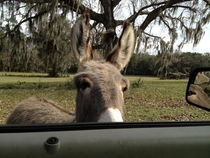 Pic #1 - My neighbor has a mini donkey that will chase you up the driveway until you scratch his head