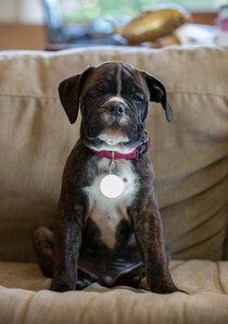 Pic #1 - My wife bought a LED light for our puppys collar so we can see him at night It makes him look like Tony Stark