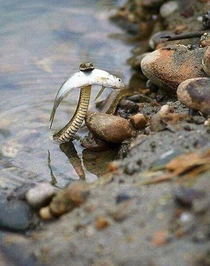 Pic #1 - This brave snake saved the fish from drowning