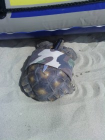 Pic #1 - This is a turtle with a knife strapped to its shell secured with an army-cameo bandana I bumped into it on the beach  mile from where the water meets the sea Curious if it was someones pet I traced its trail in the sand which lead straight into t