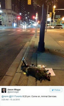 Pic #11 - The Toronto Raccoon Story