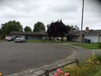 Pic #2 - Cows escaped into our neighborhood Graciously started mowing the lawns for us