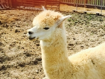 Pic #2 - My mothers alpaca underscoring the importance of camera angle