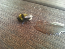 Pic #2 - The day I tried to rescue an exhausted bumble bee