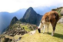 Pic #3 - I was top comment earlier on a post about a llama in Machu Piccu You guys sent me a bunch of funny llama pics as replies so I compiled them all into  album Enjoy