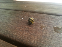Pic #3 - The day I tried to rescue an exhausted bumble bee