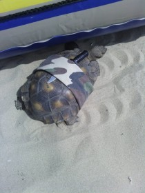 Pic #3 - This is a turtle with a knife strapped to its shell secured with an army-cameo bandana I bumped into it on the beach  mile from where the water meets the sea Curious if it was someones pet I traced its trail in the sand which lead straight into t