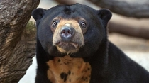 Pic #3 - This is the malaysian bear and I think it should become famous